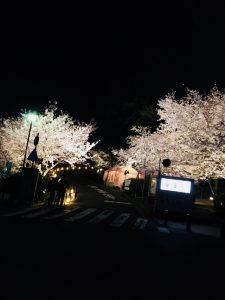 須磨浦公園 桜 ライトアップ