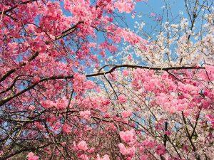 三輪山 桜